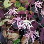 Loropetalum chinense f. rubrum Ruby Snow (1)