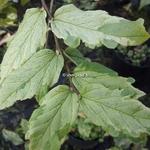 Parrotia persica Persian Lace (1)