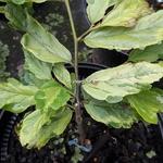 Parrotia persica Persian Lace (4)