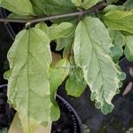Parrotia persica Persian Lace (3)