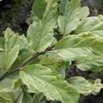 Parrotia persica Persian Lace (2)