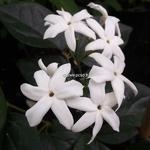 Jasminum sambac (1)
