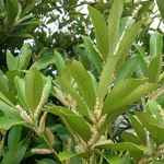 Lithocarpus edulis (2)