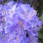 Rhododendron augustinii Electra (2)