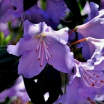 Rhododendron augustinii Electra (1)