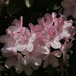 Rhododendron Halopeanum (2)