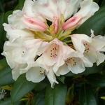 Rhododendron yakushimanum Grumpy (1)