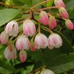 Zenobia pulverulenta Raspberry Ripple (1)