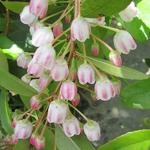 Zenobia pulverulenta Raspberry Ripple (2)