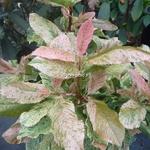 Photinia serratifolia Pink Crispy (5)