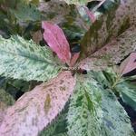 Photinia serratifolia Pink Crispy (6)