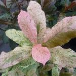Photinia serratifolia Pink Crispy (7)
