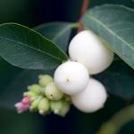 Symphoricarpos White Hedge (2)