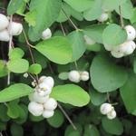Symphoricarpos White Hedge (1)