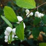 Symphoricarpos White Hedge (3)