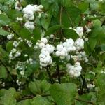 Symphoricarpos White Hedge (4)