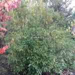 Lithocarpus edulis