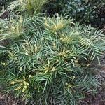 Mahonia eurybracteata Softcaress (2)