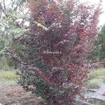 Sycoparrotia semidecidua Purple Haze (2)
