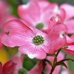 Cornus florida rubra (2)