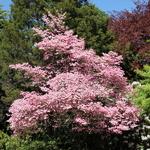 Cornus florida rubra (5)