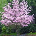 Cornus florida rubra (1)