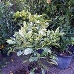 Aucuba japonica Crotonifolia C10L