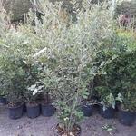 Quercus ilex C18L