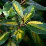 Elaeagnus ebbingei Limelight (2)