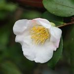 Camellia Quintessence (4)