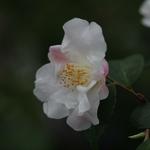 Camellia Quintessence (1)