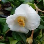 Camellia Quintessence (3)