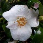 Camellia Quintessence (2)