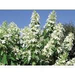 hydrangea%20paniculata%20levana