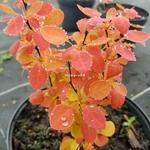 Berberis thunbergii Orange Ice (1)