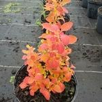 Berberis thunbergii Orange Ice (2)