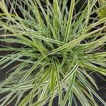 Carex oshimensis Albovariegata