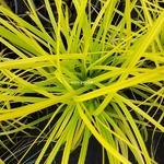 Carex oshimensis Aurea