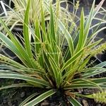 Carex oshimensis Everglow