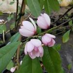 Magnolia figo (1)