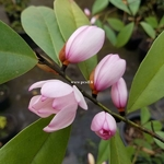 Magnolia figo (2)