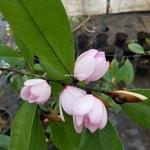 Magnolia figo (3)
