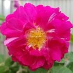 Rosa multiflora Grevillei