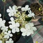 Viburnum furcatum (2)