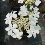 Viburnum furcatum (3)
