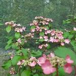Viburnum plicatum Molly Shroeder (5)
