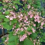Viburnum plicatum Molly Shroeder