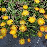 Delosperma Orange Wonder