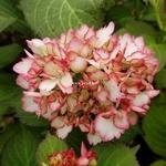 Hydrangea macrophylla Cocktail (2)