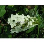 hydrangea%20quercifolia%20back%20porch
